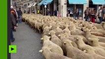 1 200 brebis dans les rues de Lyon : des éleveurs manifestent contre le futur plan loup