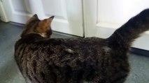 Cette maman Chat miaule pour retrouver ses chatons derrière la porte !