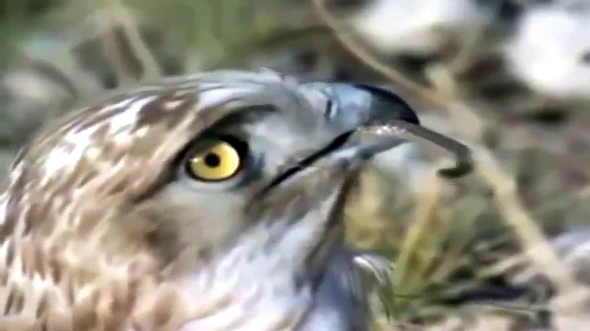 Amazing Eagle Eats Cobra- Wild African Animal Attack
