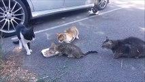 Ce bébé chat mange tranquillement protégé maman alors que les autres chats ont la grosse dalle