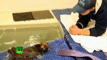 Sauvetage d'une petite loutre à l'aquarium de Chicago