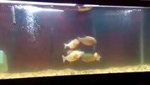 Ces piranhas à ventre rouge s'amusent avec une souris...