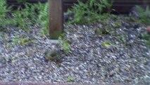 Oiseaux des jardins en Bretagne. Verdier , Gros bec casse noyau , serin cini