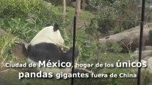 Ciudad de México, hogar de los únicos pandas gigantes fuera de China