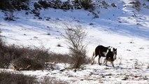 Ce cheval se roule dans la neige au milieu des loups !