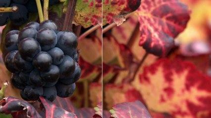 FUN MOOC : OWU2 - Universidad de la viña y del vino abierta a todos 2