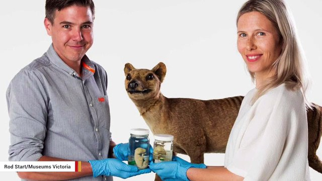 Research Reveals At What Age Tasmanian Tiger Joeys Took On Their Dog-Like Appearance