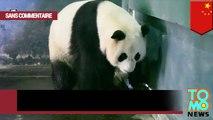 Vidéo : un panda géant donne naissance à deux bébés pandas en Chine