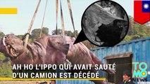 R.I.P: Ah Ho l'hippo de Taïwan est décédé dans d'atroces souffrances