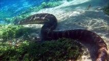 Ce serpent Python géant marche sous l'eau tranquillement !