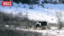 Kali rrethohet nga 6 ujqër në Itali, veprimi i tij i lë pa fjalë italianët (360video)