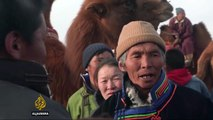 Mongolia races to preserve two-humped camels