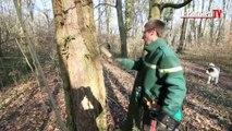 Compiègne : comment l'ONF choisit-il les arbres qui devront être coupés ?