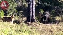 Wild Animals Fighting - Lion vs Baboon, Buffalo, Video African Animals