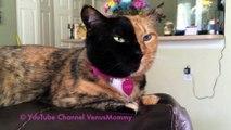 Narnia et Venus : Les chats chimères à double face en vidéo