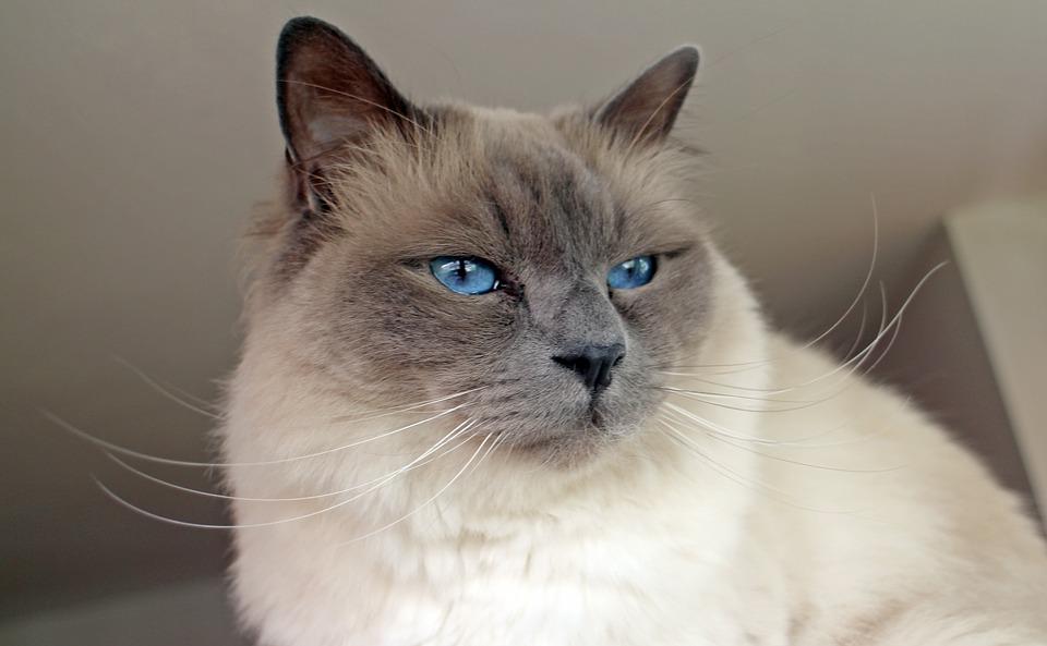 Les plus belles races de chats au monde