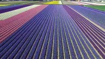 Il survole les champs de tulipes aux Pays-Bas et c'est juste MAGNIFIQUE