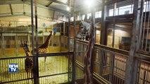 Vague de froid: comment les animaux du zoo d'Amnéville sont-ils protégés
