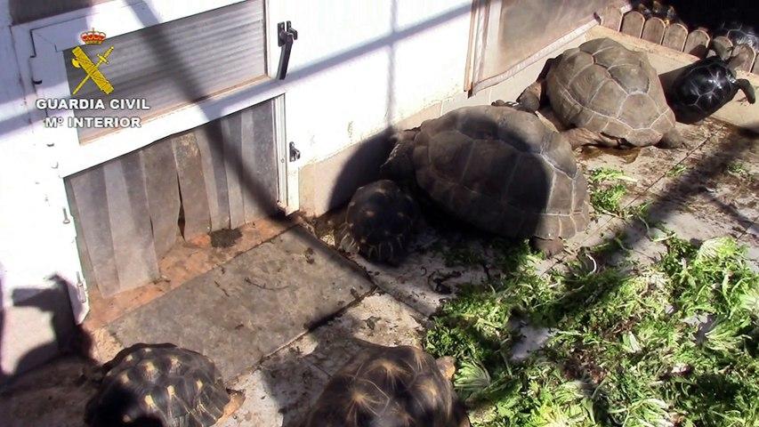 La Guardia Civil de Murcia desmantela un criadero ilegal con 100 tortugas una de ellas de 60 kg
