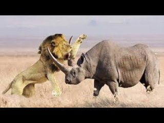Rhino Chasing Lions and Elephant
