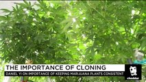 Cloned Cannabis Quality Control