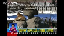 Obese tigers defended by Chinese zoo