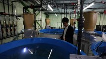 Japan firm seeks to spawn salmon farm revolution