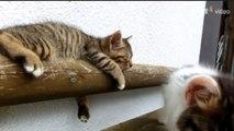 Ce chaton mignon essaie de réveiller son pote le chat