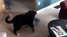 Bernese Mountain Dog Going Crazy Over His Toy