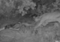 Mountain Lion Revisits Dead Mule Deer for Late-Night Snack at Joshua Tree National Park