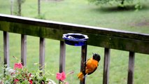Wild Bird House : Orioles Eating Grape Jelly on a Rainy Day : With Relaxing Sounds of Nature