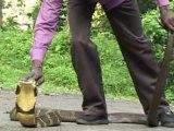 Cet homme n'a vraiment pas peur des serpents... Son cobra royal c'est son chien en fait