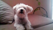my crazy maltese barking