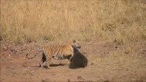 قتال شرس بين نمر ذكر ودب أنثى
