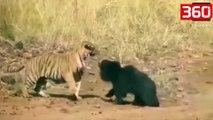 Shikoni se kush del fitimtar nga beteja epike ndërmjet një tigri dhe një ariu (360video)