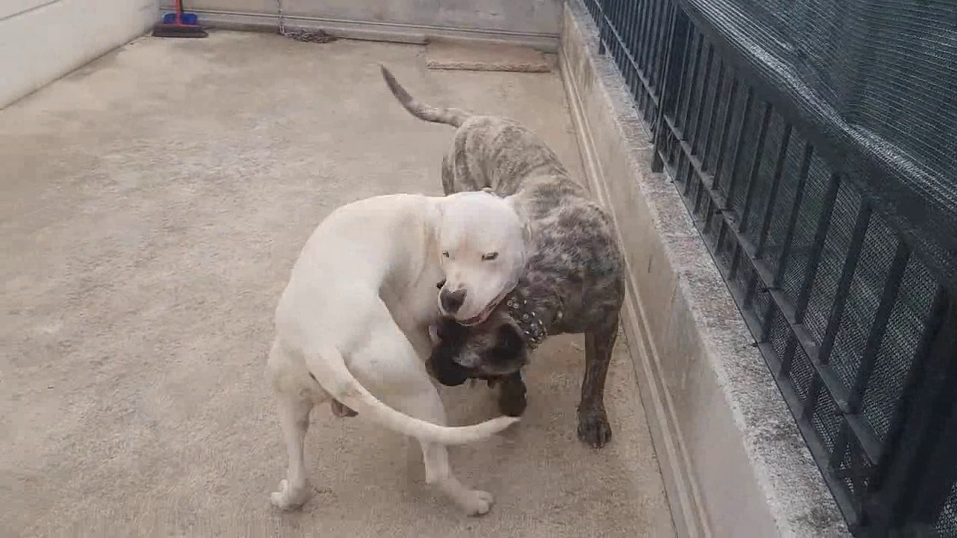 dogo argentino vs puma real fight