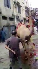 Canı yanan devenin intikamı