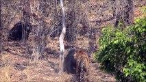 Inde : Une maman Ours lippu défend ses enfants et entre en bagarre avec un tigre !