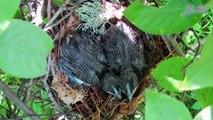 Cùng họ với tu hú nhưng loài chim này tự làm tổ và ấp trứng chứ không đẻ nhờ