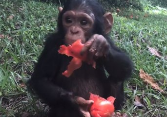 Common Chimpanzee Resource | Learn About, Share and Discuss Common
