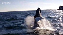 The amazing moment a humpback whale breaches next to a boat