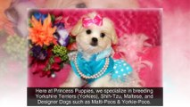 Puppies For Sale In Louisiana - Yorkie, Maltese, Shih-tzu and more! (318-613-2898)