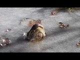 Swamp video shows how frozen alligators survive cold snap