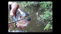 Ces 2 poissons ont les mâchoires les plus puissantes du monde : Piranha Scissors vs. Puffer Fish Slicers