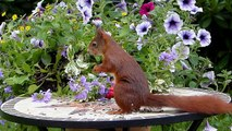 Animal Mammal Squirrel Sciurus Vulgaris Major