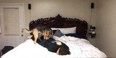 Kalp Krizi Geçirip Bayılma Numarası Yapan İnsan Dostuna Kalp Masajı Yapmaya Çalışan Köpek