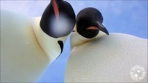 Curious penguins 'pose' for selfie