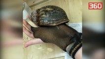 Njihuni me kërmillin më të madh në botë, përmasat e tij janë sa një...(360video)