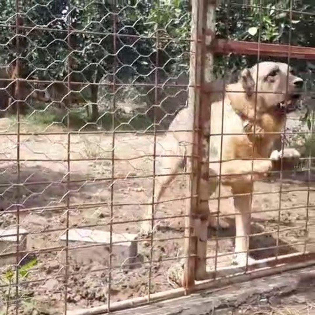 KENDiNi ZOR ZAPT EDEN ANADOLU ÇOBAN KÖPEĞi - ANGRY ANATOLiAN SHEPHERD DOG