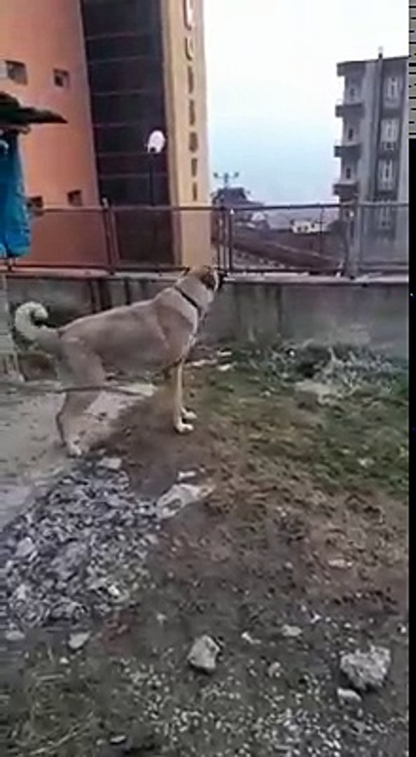 MAHALLEYi KÜKREMESİ iLE iNLETEN ANADOLU ÇOBAN KOPEGi - ANGRY SHEPHERD DOG